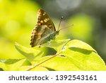 Emperor Butterflies Of Korea...