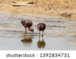Glossy ibises resting and...