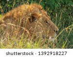 male lion close up side view... | Shutterstock . vector #1392918227