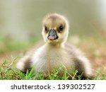 Cute Little Ducklings On Grass.