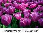 Group Purple Tulips. Spring...