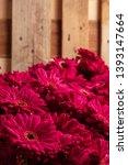 set of pink gerbera daisies... | Shutterstock . vector #1393147664