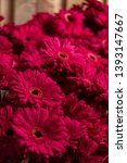 set of pink gerbera daisies... | Shutterstock . vector #1393147667