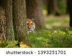 Tiger Peeping From Behind A...