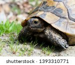 Stock photo spur thighed tortoise or greek tortoise testudo graeca bulgaria april 1393310771