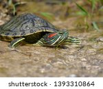 Red Eared Slider  Trachemys...