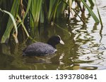 Lonely American Coot Chillin On ...