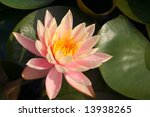 Beautiful water lily in a pond - stock photo