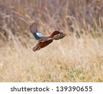 Cinnamon Teal In Flight With...