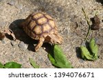 Stock photo close up baby african spurred tortoise resting in the garden slow life africa spurred tortoise 1394076671