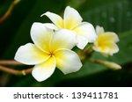 White And Yellow Plumeria Spp.  ...