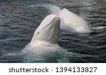 Beluga whale   delphinapterus...