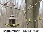 Two Male House Finches Above A...