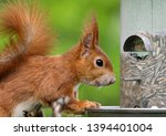 Red Squirrel Eating Bird Seed