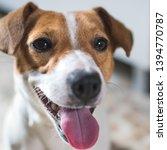 portrait of a dog jack russel...   Shutterstock . vector #1394770787