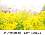 Rape Flowers Are Blooming At...