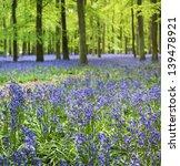 small bluebell flowers carpet...