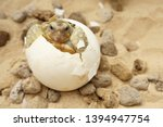 Stock photo africa spurred tortoise are born naturally tortoise hatching from egg cute portrait of baby 1394947754