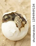 Stock photo  cute portrait of baby tortoise hatching africa spurred tortoise birth of new life closeup of a 1394949134