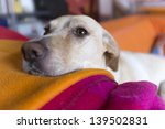 Stock photo dog on his couch with his nose resting on his blanket 139502831