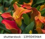 Big Red Orange Flowers Of...