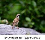 sparrow | Shutterstock . vector #139505411