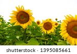 many sunflowers on a field   Shutterstock . vector #1395085661