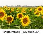 many sunflowers on a field   Shutterstock . vector #1395085664