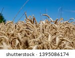 a field with wheat in front of...   Shutterstock . vector #1395086174