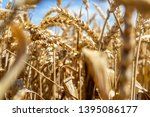 a field with wheat in front of...   Shutterstock . vector #1395086177