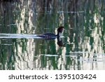 The Great Crested Grebe Swims...
