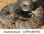 Crotalus Oreganus Helleri  The...