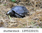 Stock photo the asian forest tortoise manouria emys also known as the asian brown tortoise 1395220151