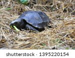 Stock photo the asian forest tortoise manouria emys also known as the asian brown tortoise 1395220154