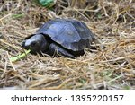 Stock photo the asian forest tortoise manouria emys also known as the asian brown tortoise 1395220157