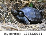 Stock photo the asian forest tortoise manouria emys also known as the asian brown tortoise 1395220181