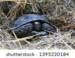 Stock photo the asian forest tortoise manouria emys also known as the asian brown tortoise 1395220184