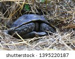Stock photo the asian forest tortoise manouria emys also known as the asian brown tortoise 1395220187