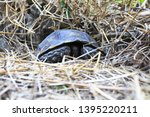Stock photo the asian forest tortoise manouria emys also known as the asian brown tortoise 1395220211