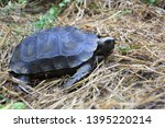 Stock photo the asian forest tortoise manouria emys also known as the asian brown tortoise 1395220214