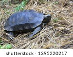 Stock photo the asian forest tortoise manouria emys also known as the asian brown tortoise 1395220217