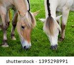 Norwegian Fjord Horses Grazin...