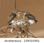 Juvenile Hummingbirds About To...