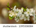 blooming plum tree closeup.... | Shutterstock . vector #1395338384