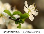 blooming plum tree closeup.... | Shutterstock . vector #1395338441