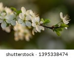 blooming plum tree closeup.... | Shutterstock . vector #1395338474
