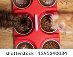 Stock photo two maine coon kittens eat dry food for kittens 1395340034