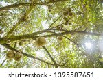 durian tree in the farm  thai... | Shutterstock . vector #1395587651