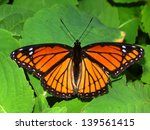 Viceroy Butterfly  Limenitis...