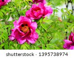 beautiful pink peonies bloomed... | Shutterstock . vector #1395738974